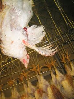 [Difendiamo i più indifesi] Diffondi il video agghiacciante sull'allevamento dei poveri polli