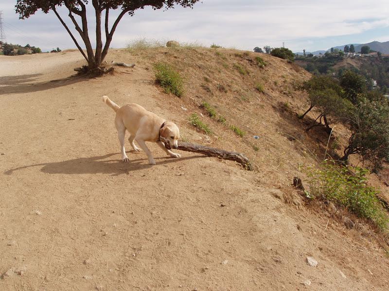 Labrador Cooper big stick Runyon Canyon