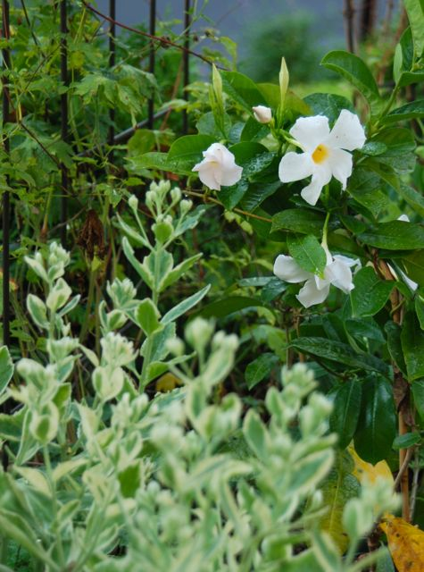 And I really like how this white Mandevilla looks flowering beside Sedum 'Frosty Morn' which is just in bud.