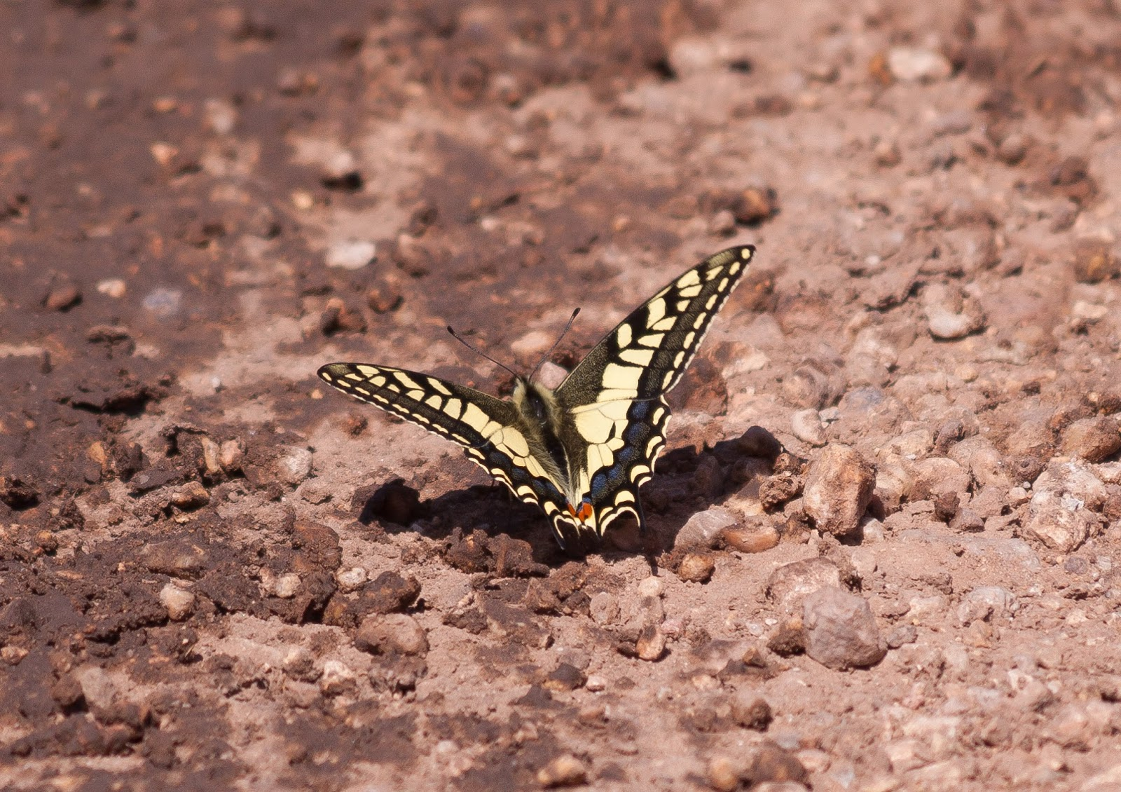 Swallowtail Butterfly - Northern Spain