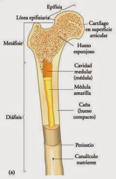 La reserva energética de los huesos