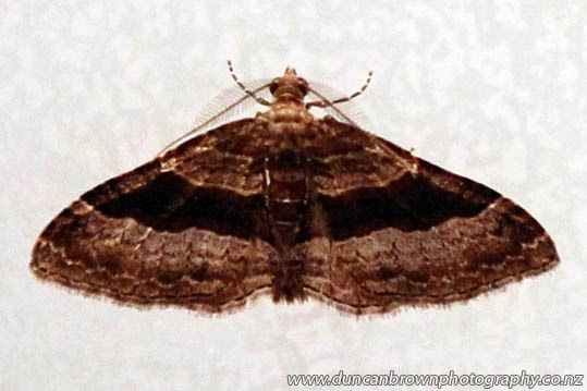 Epyaxa lucidata (male), a moth of the Geometridae family, and native to New Zealand photograph