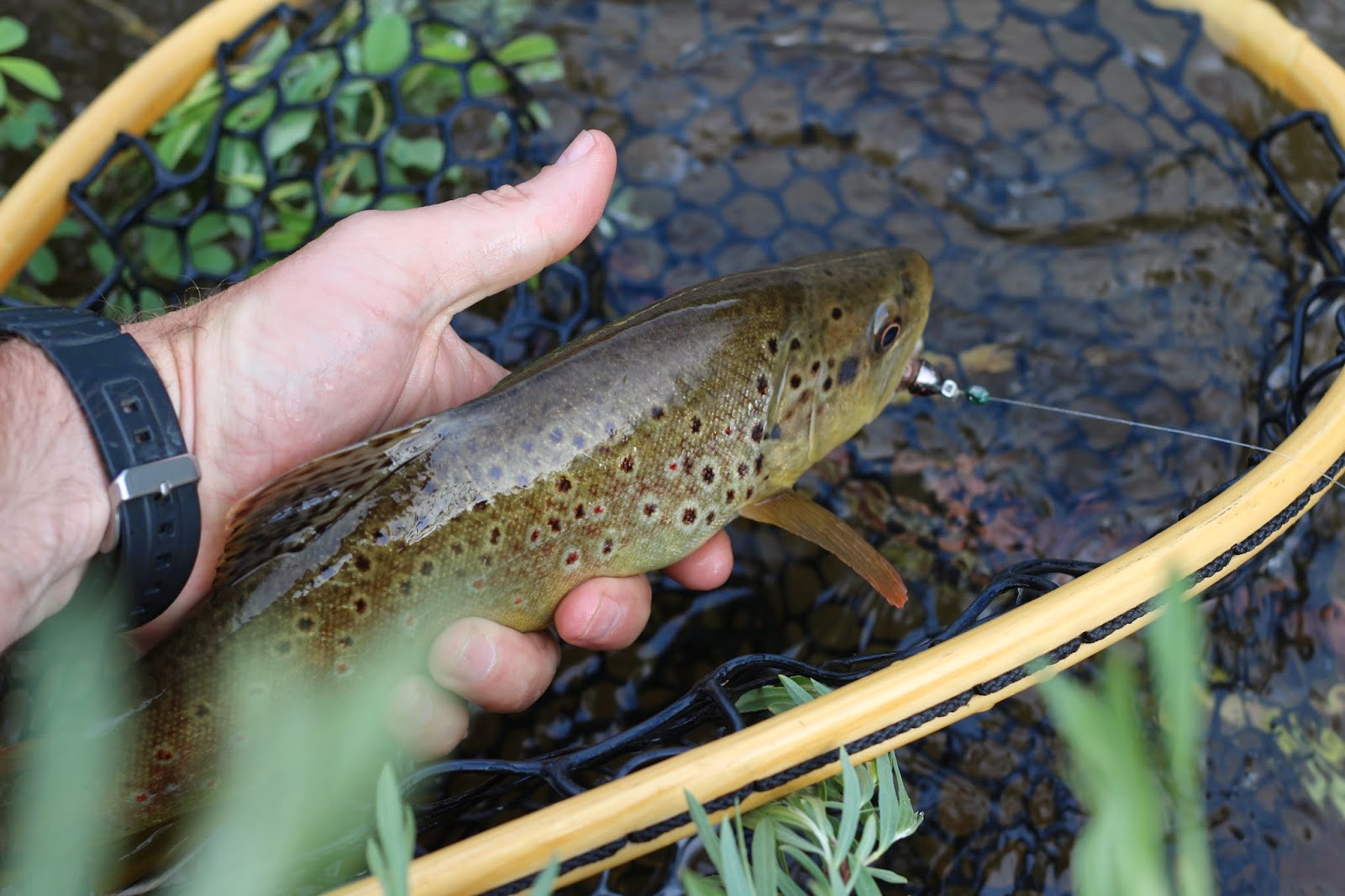 Brown+Trout+with+a+streamer+in+its+mouth+from+the+Roaring+Fork+River+in+Colorado+with+Jay+Scott+Outdoors.JPG
