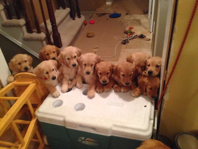 adorable dog pictures, golden retriever puppies