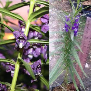 bibit-bunga-lavender-asli.jpg