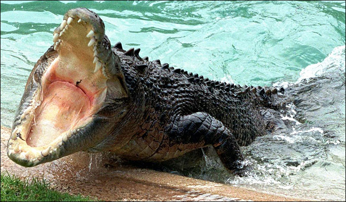 Saltwater crocodile attacks tiger - photo#28