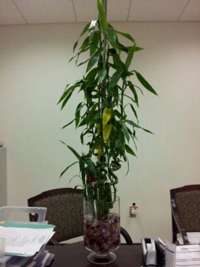 Bamboo House Plant ~ Bamboo lamp photo house plants