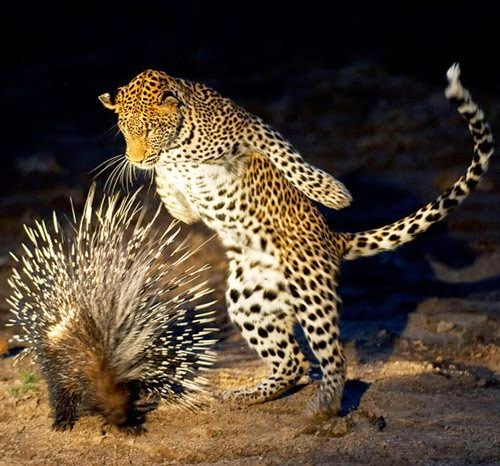 leopard porcupine animal photography
