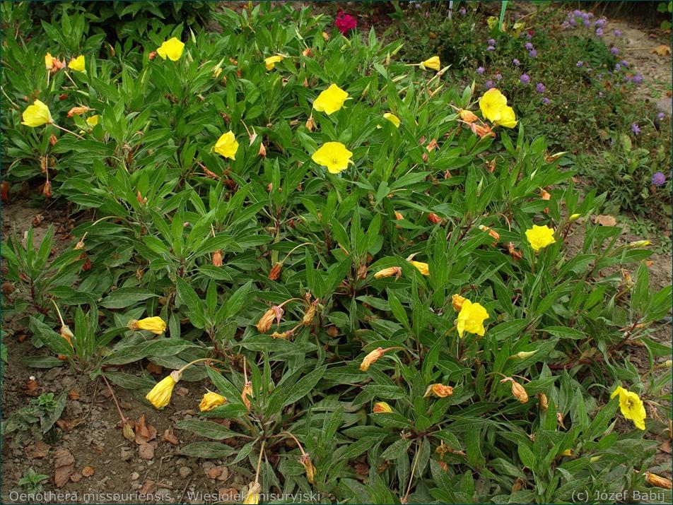 Oenothera missouriensis - Wiesiołek misuryjski pokrój