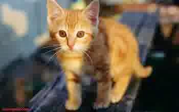 Gambar Anak Kucing Anggora Reb Tabby