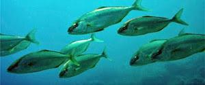Αν τα ψάρια είχαν φωνή...