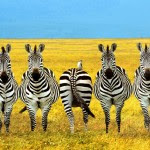 Zebras Standing in Funny Position