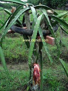 tiang panjatan kayu buah naga