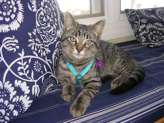 Tabby colored kitten with teal harness