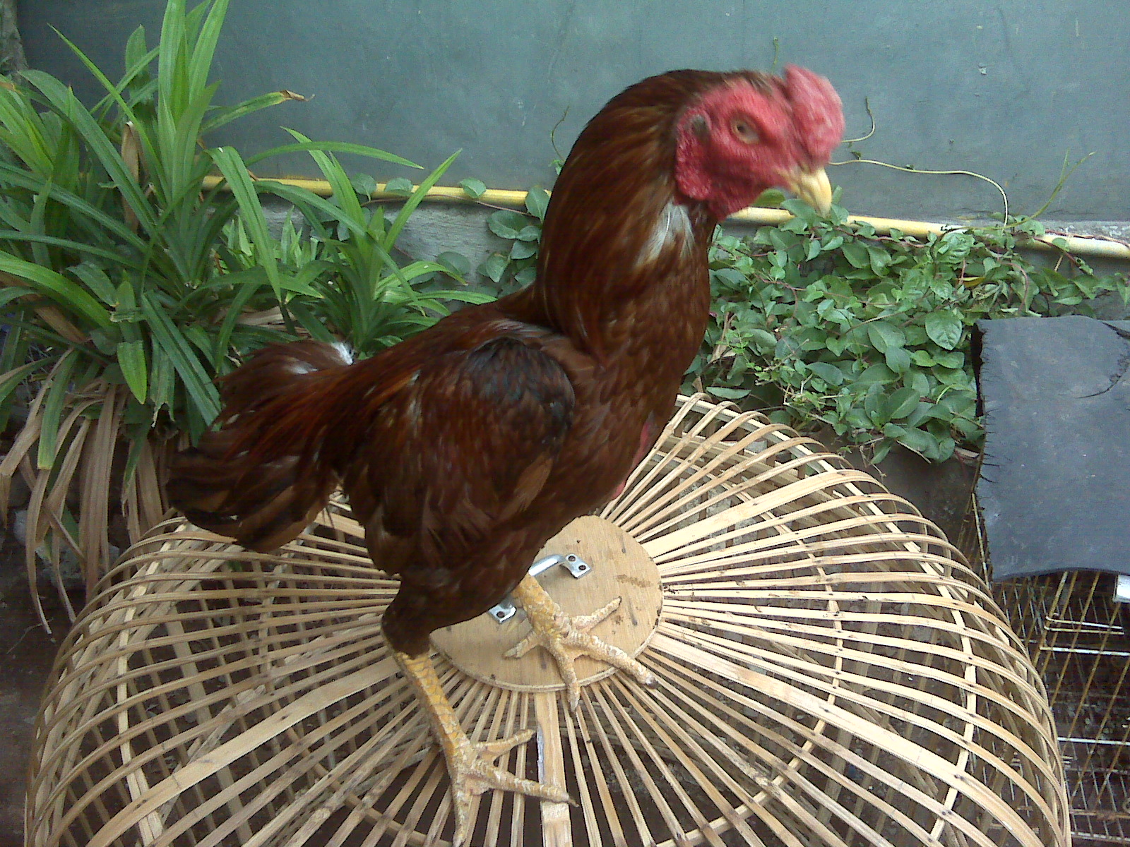 Dijual Ayam Bangkok dan Ayam Burma Berkualitas dan silahkan coba