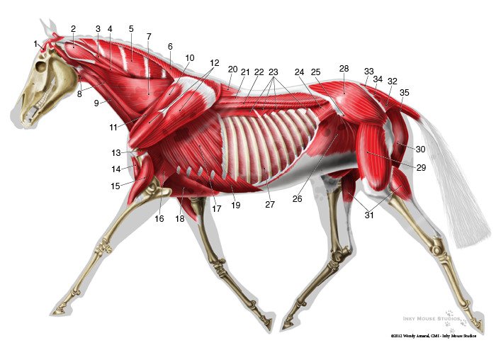 horse anatomy muscles diagrams horse anatomy horse muscle anatomy ...