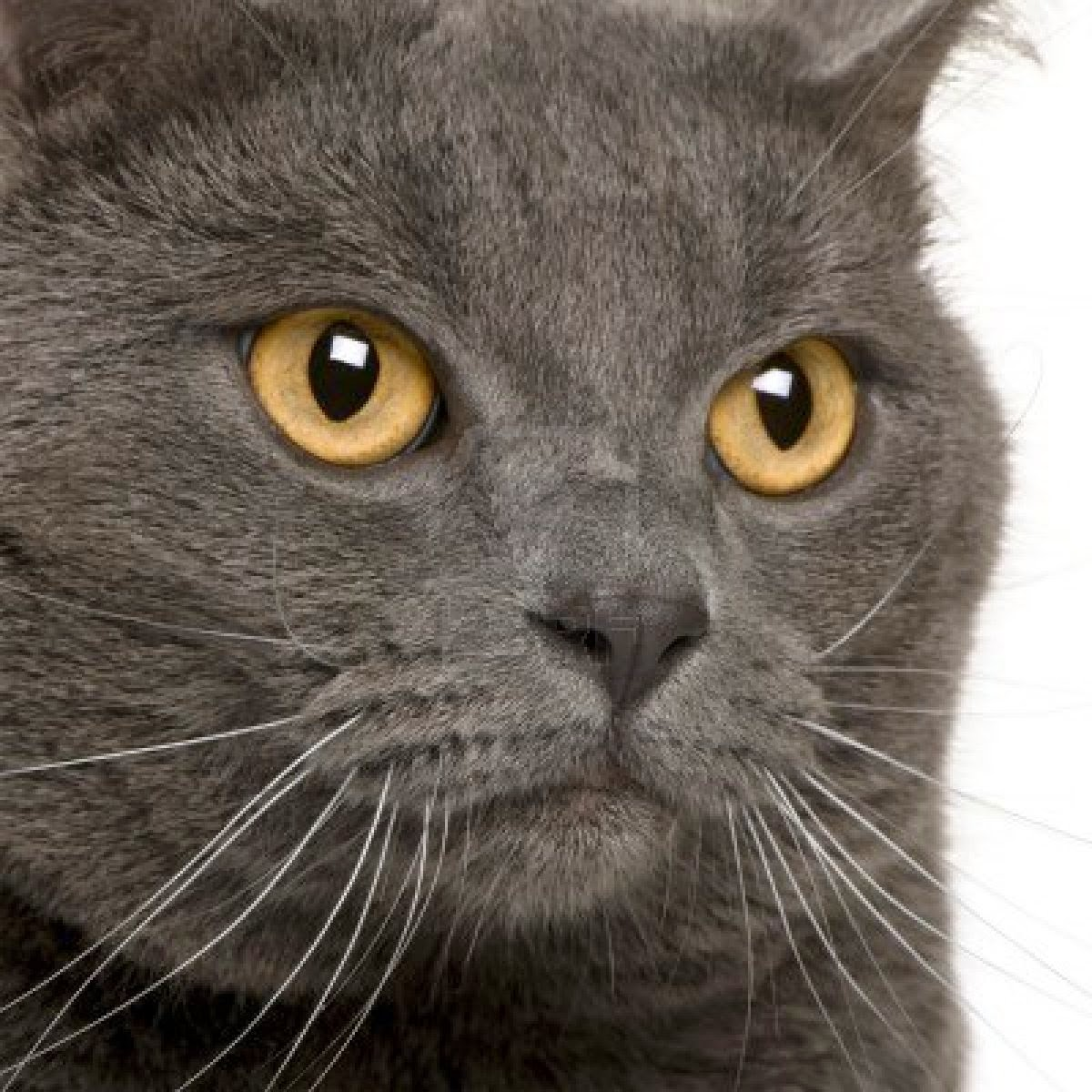 Fat Russian Blue Cats With Orange Eyes