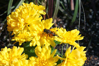photo of bee on yellow Chrysanthemum