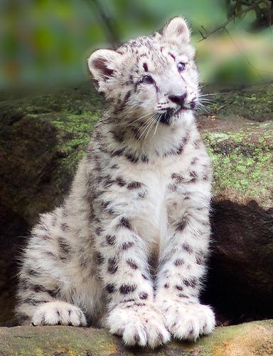 kat snow leopard
