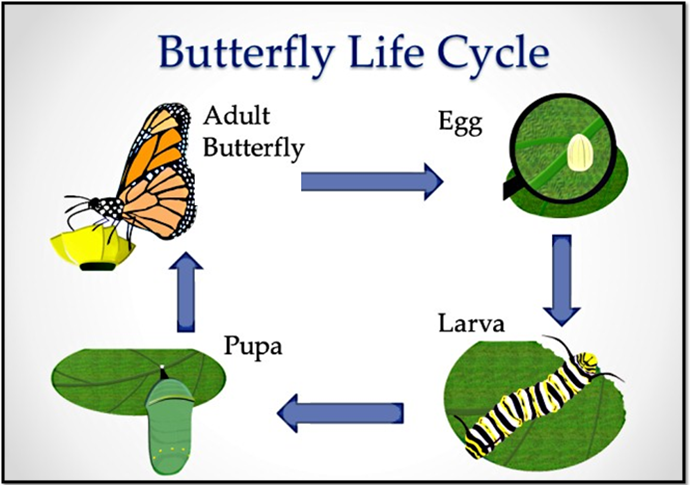 the different stages of a butterflys life cycle The monarch butterfly or simply monarch (danaus plexippus) is a milkweed butterfly (subfamily danainae) in the family nymphalidae other common names depending on region include milkweed, common tiger, wanderer, and black veined brown.