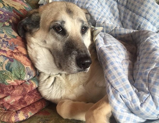 ottawa valley dog whisperer dog tail injury diy