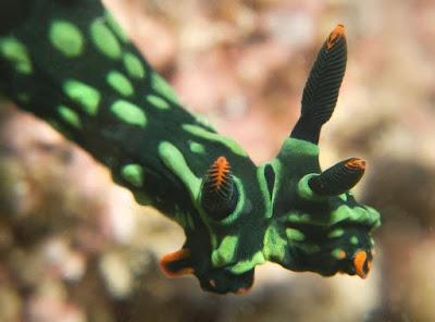 Siput Laut Hijau Aneh ini Memiliki Dua Kepala