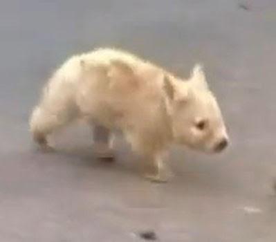 Albino wombat - photo#13