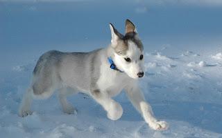 Siberian Husky Photos