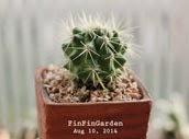 http://finfingarden.blogspot.com/2014/12/echinocactus-grusonii-valbispinus.html