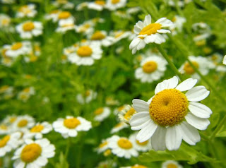 Usos de la manzanilla como planta medicinal