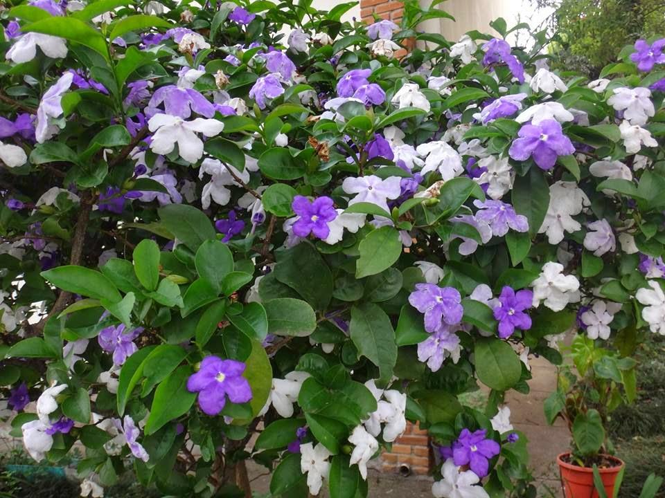 Uma flor por dia: Manac?-de-jardim ou manac?-de-cheiro