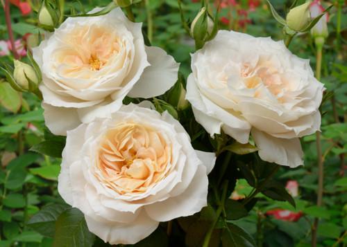Lions-Rose rose сорт розы фото