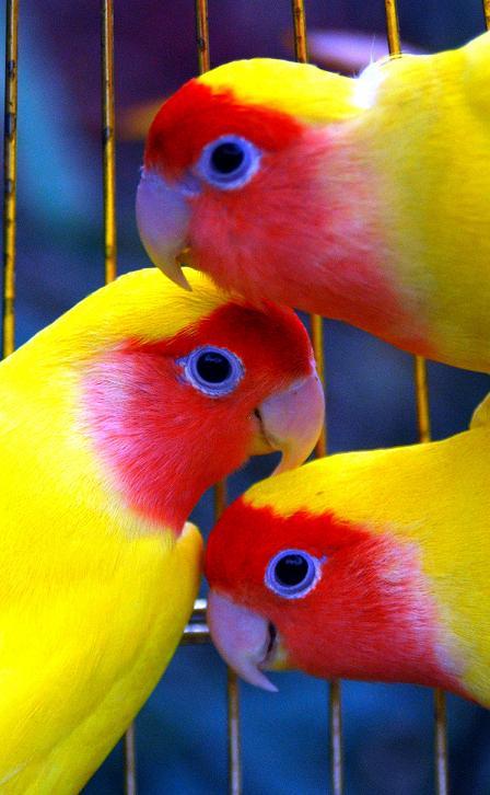 LOVEBIRD-DIJUAL-MURAH