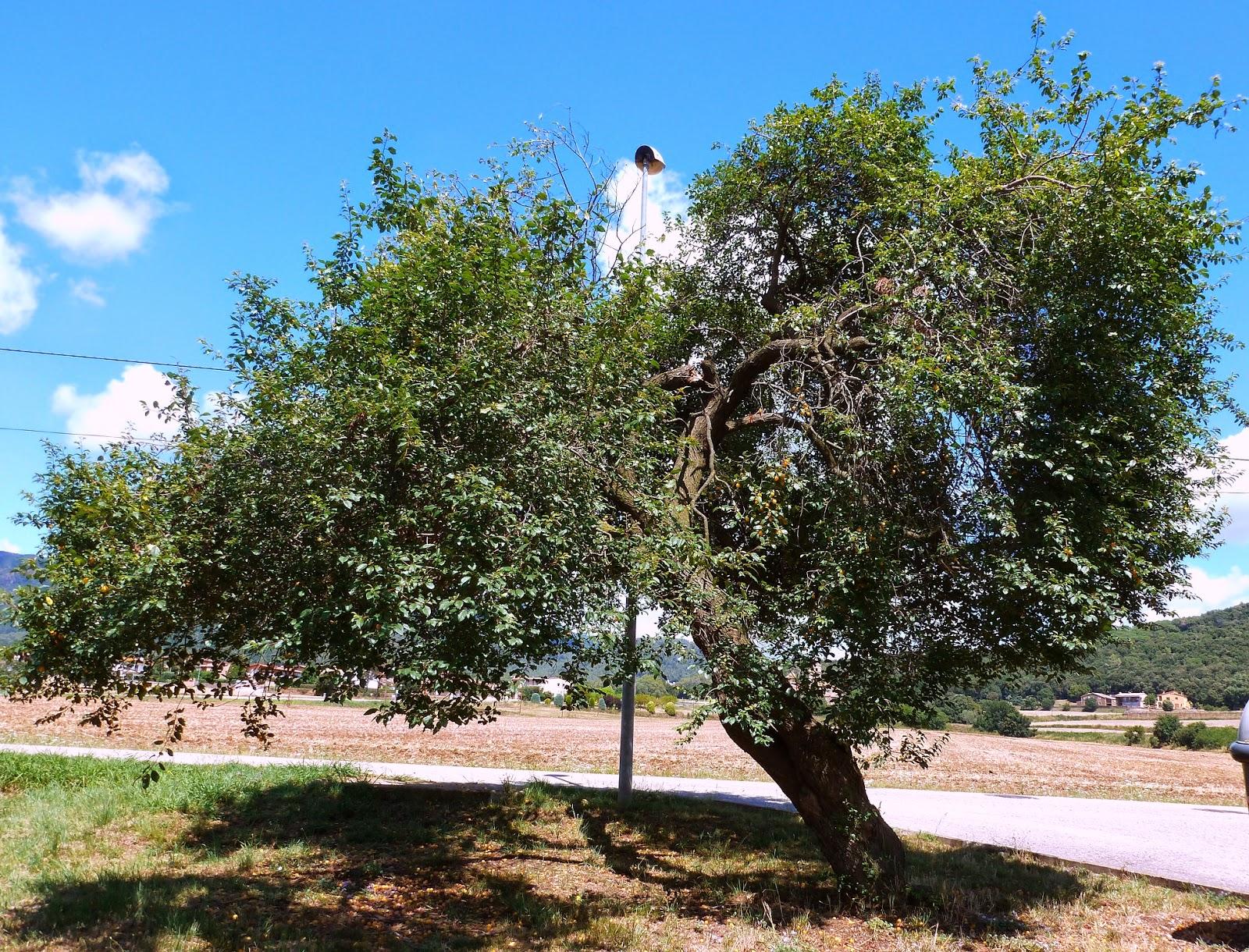 Rboles con alma ciruelo prunera prunus domestica for Arbol ciruelo de jardin