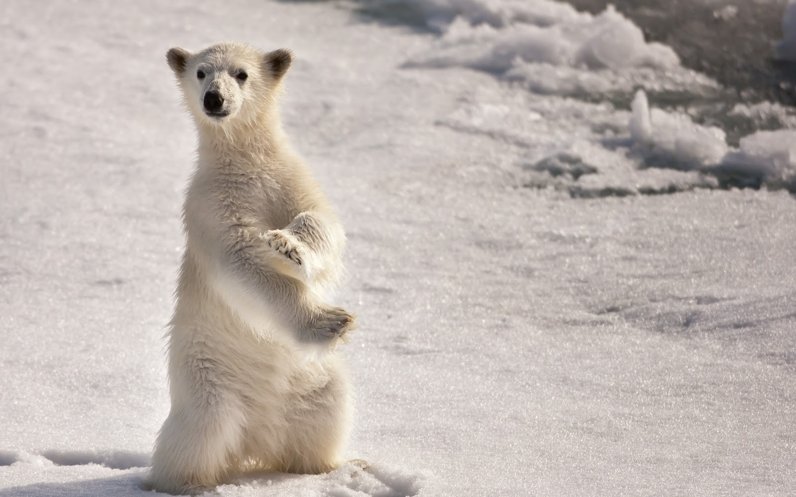 Funny polar bear white baby bear standing in two feet looking at