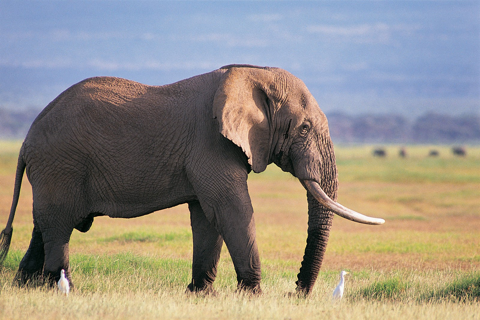 Beautiful pictures of elephant in hd - Image elephant ...