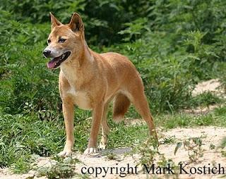 Spesies Langka, Anjing Bernyanyi Dari Papua Nugini
