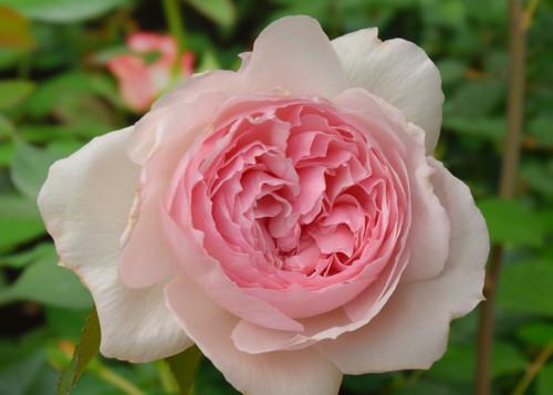 The Wedgewood Rose rose сорт розы фото