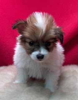 Papillon Pupppy Picture