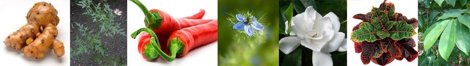 Tanaman Obat - Tanaman Berkhasiat - Ramuan Tradisional