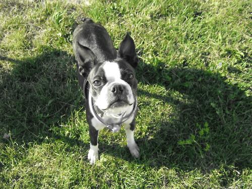 Boston Terrier #8 | Fo...