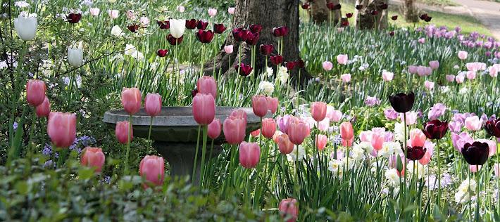 Mississippi Tulips