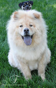 The Chow Chow is a wellmannered dog. Quite good with children.