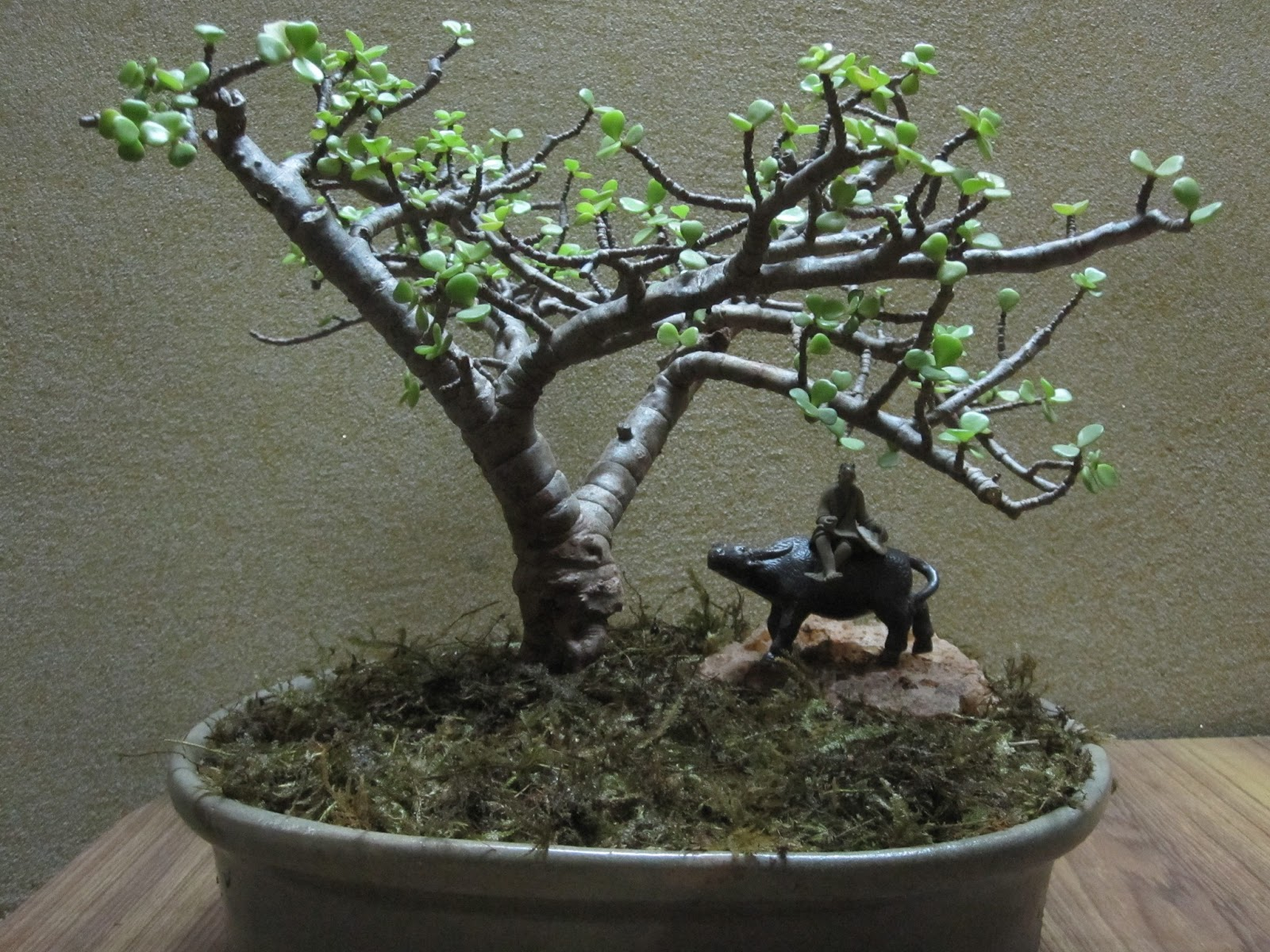 Wwwkapilaascom Jade As A Bonsai