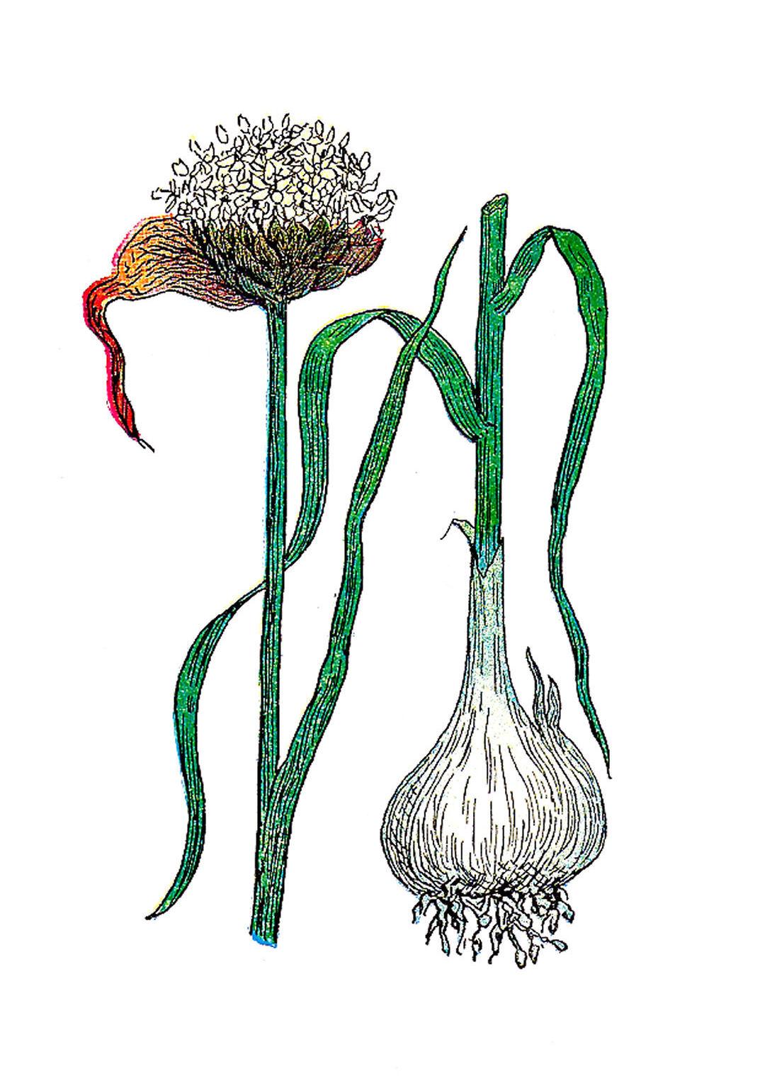 antique images  free botanical graphic  vintage illustration of garlic plant