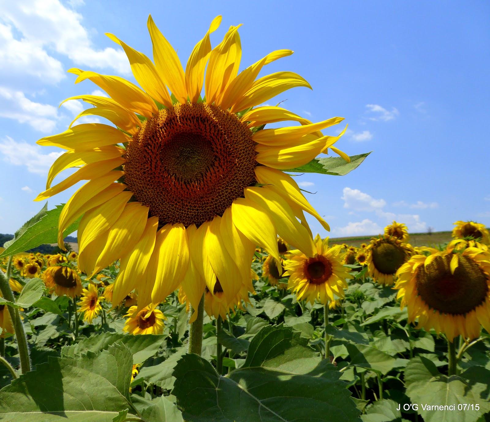 Sunflowers A Peep Into Bulgaria