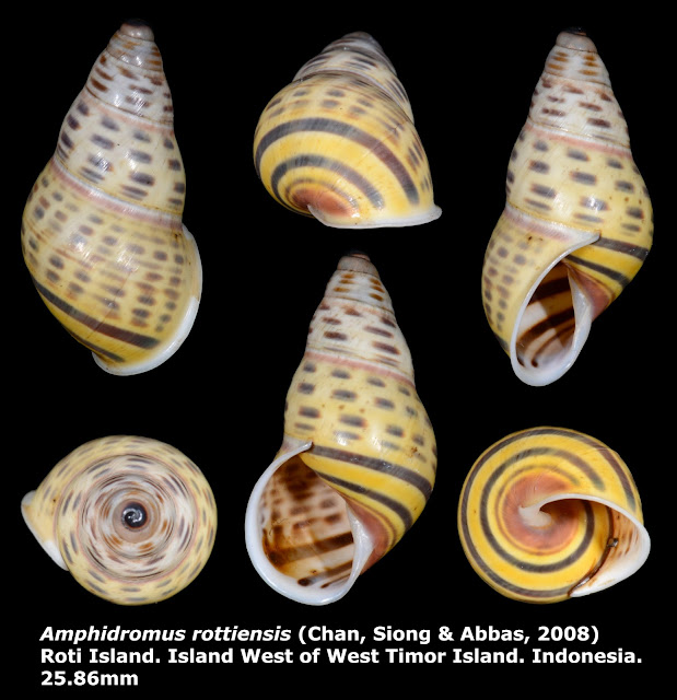 Amphidromus rottiensis 25.86mm