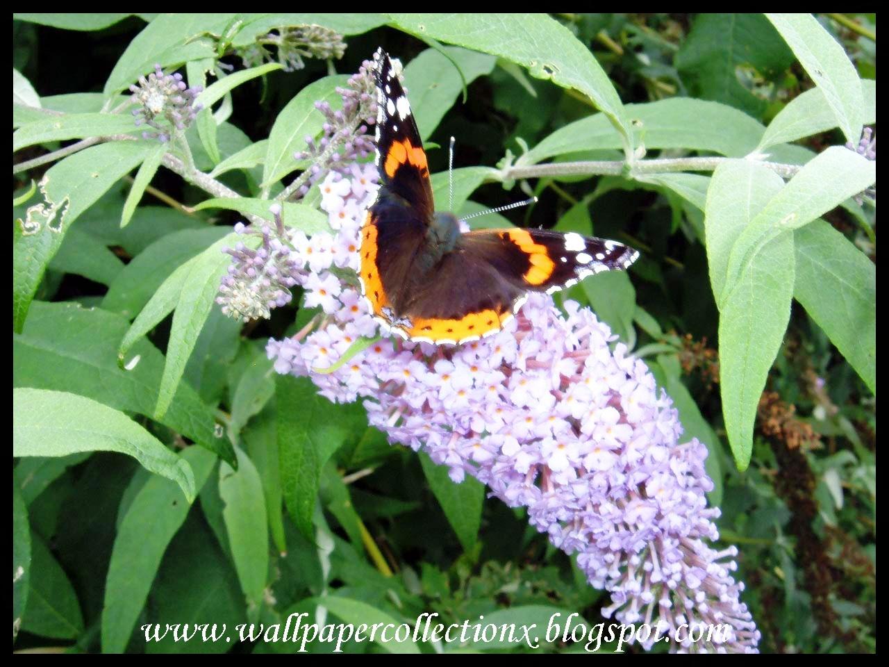 http://4.bp.blogspot.com/-C9HC_Kczo2Y/TeyEAveEuhI/AAAAAAAAAkE/v-A44x8m8R4/s1600/Butterflies%252C+Red+Admiral+I+040906.jpg