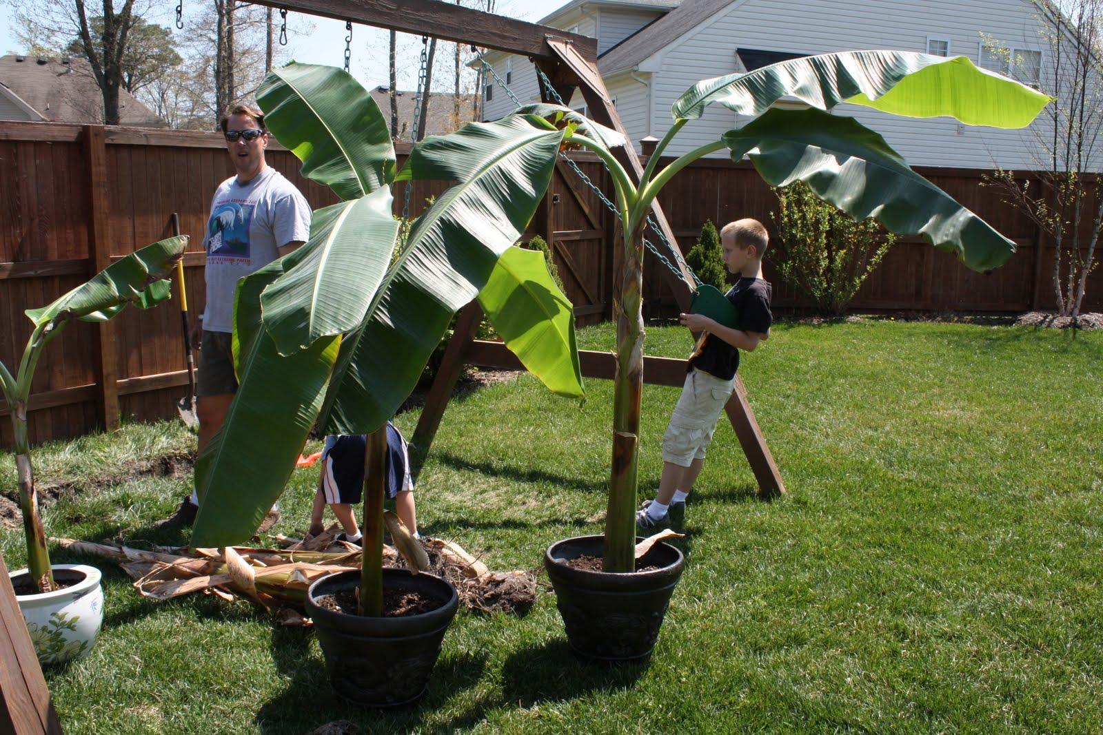 Spring Planting Banana Trees