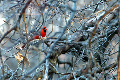 Cardinal in oak tree